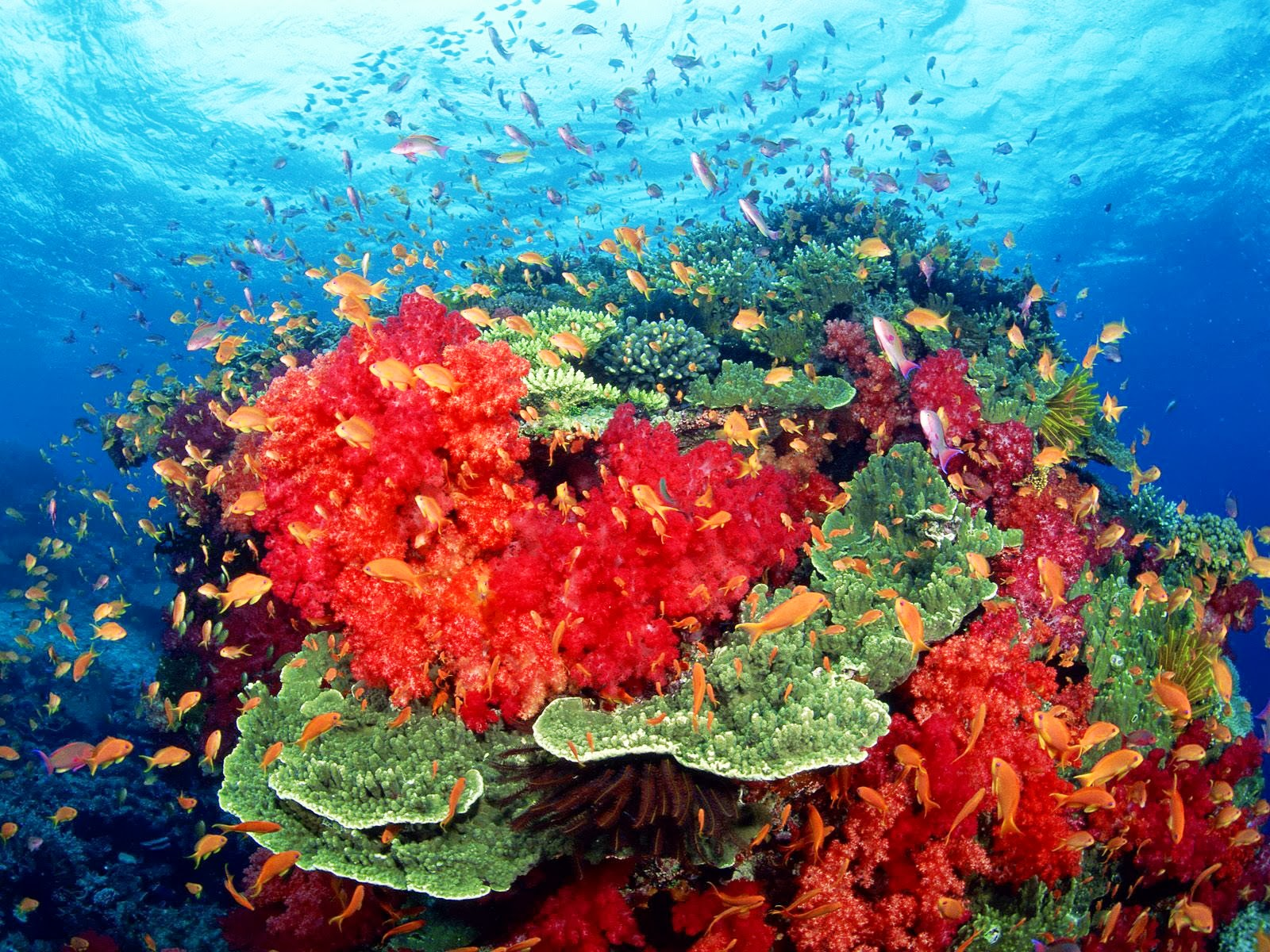 beautiful colorful coral reefs - photo #1