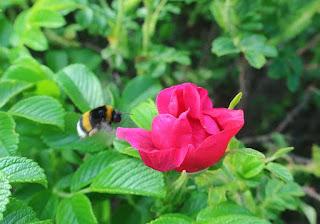 Nalewka różana DIY