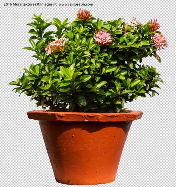 PNG Ixora Coccinea Garden plants texture 00003