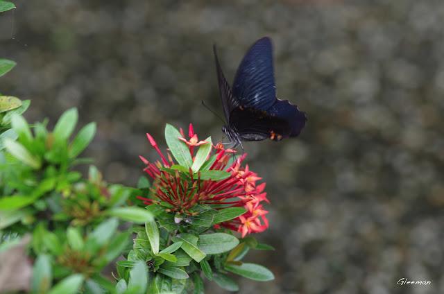 雞南山的黑鳳蝶