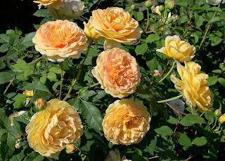 Golden Celebration сорт розы фото купить саженцы в Минске