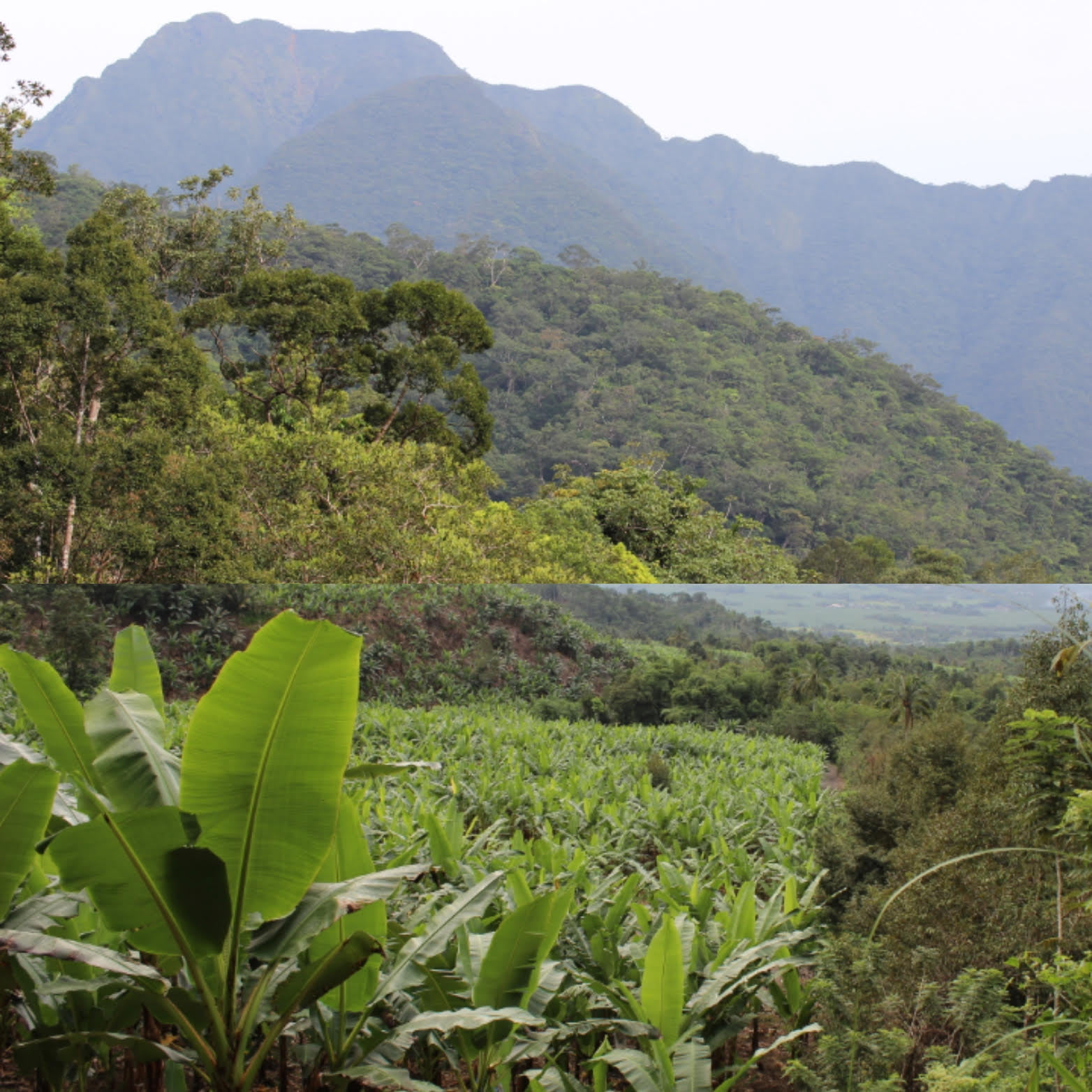 tropical forests have been converted into plantations (palm oil, banana, fruit trees