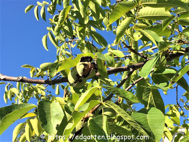 Walnuss am Baum