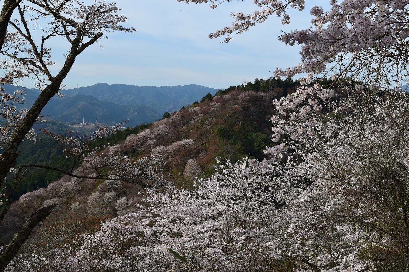 Yoshinoyama sakura