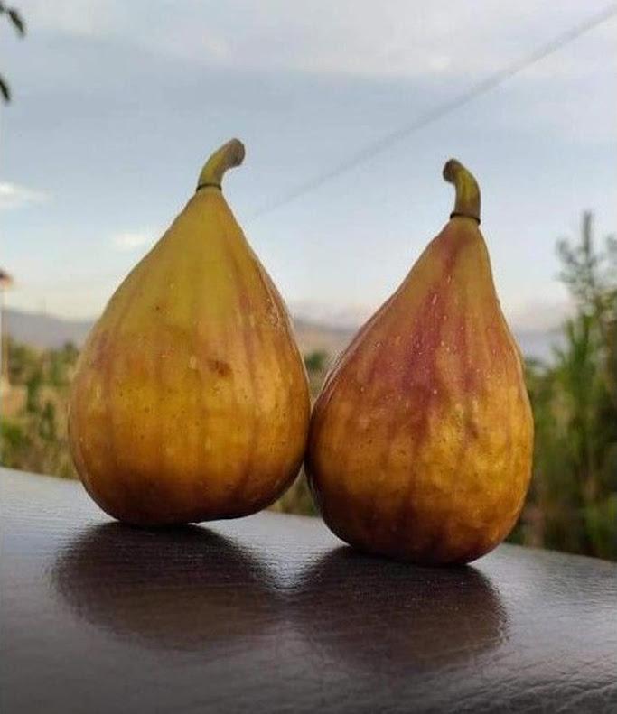 Bibit buah tin Lungo Del Portugallo jenis buah tin lonjong manis Bogor