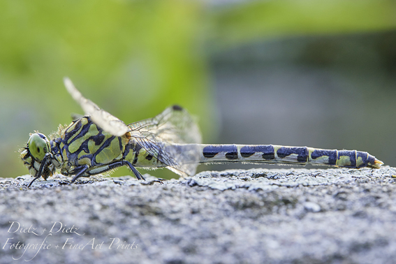 Kleine Zangenlibelle (Onychogomphus forcipatus)