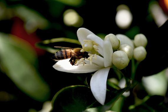 Πωλείται μέλι πορτοκαλιάς με άνθη στην Αργολίδα.