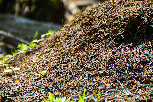 Ameisenhaufen auf dem Lemberg
