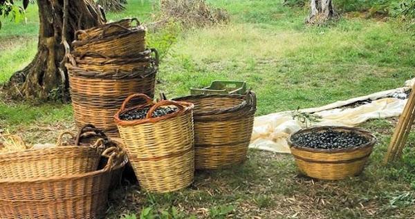 Ξεκίνησε η συλλογή της μαύρης Κονσερβολιάς