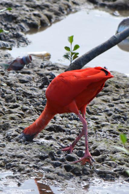 Ganz tief in den Schlick versenkt der Rote Ibis (Eudocimus ruber) seinen Schnabel.
