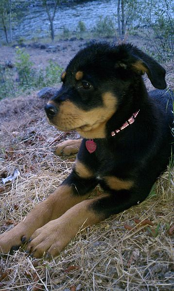Long Old Puppy Week Hair 4 Rottweiler Pictures