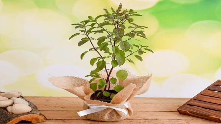रविवार को तुलसी का पौधा क्यों नहीं लगाना चाहिए?