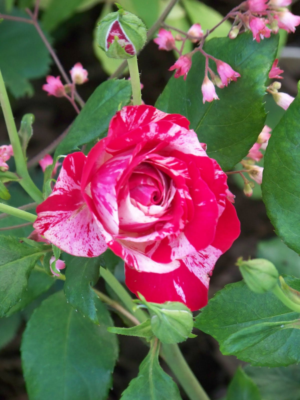 Love Garden Roses: I Love My Garden: My Bare Root Rose Addiction