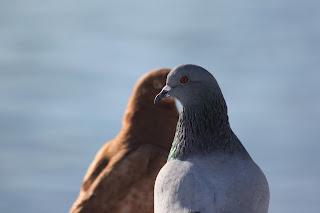 Burung Balap