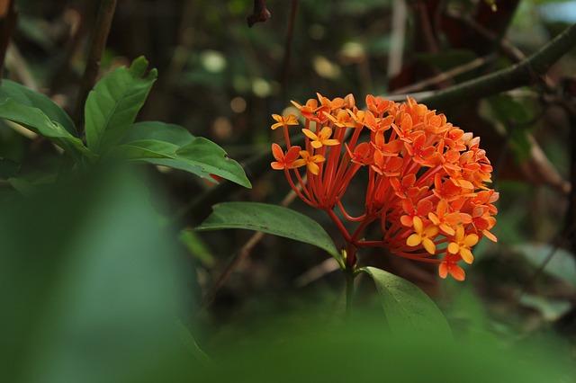 Gambar bunga asoka