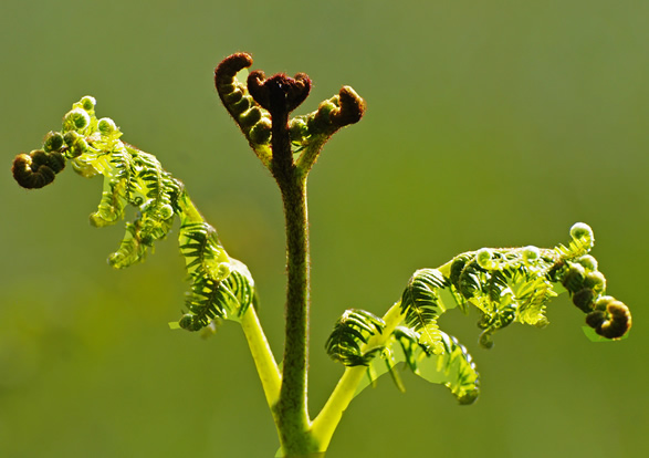 fern shoot out
