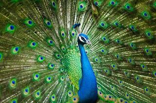 Mengenal Merak Hijau, Burung Cantik yang Terancam Punah