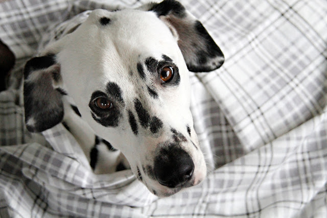 Dalmatian dog wrapped in a grey and white plaid flannel blanket