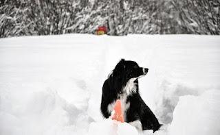 cães de salvamento em avalanche