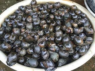 Nguyên nhân ốc nhồi nuôi trong bể xi măng chậm lớn và nước nhanh bẩn.