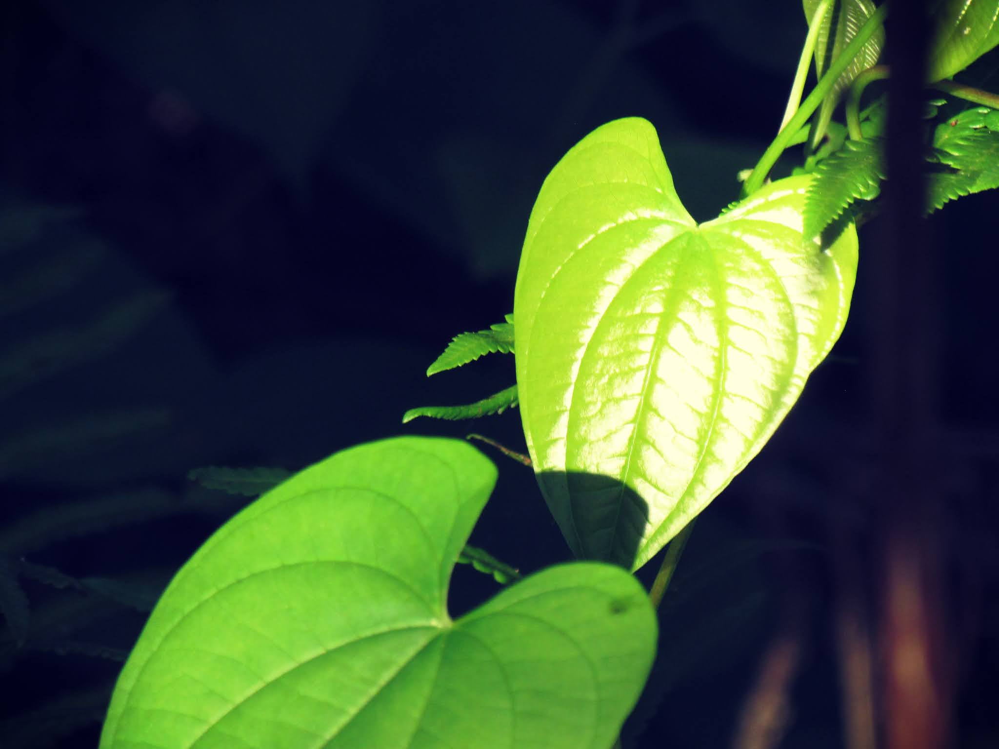 a love story in the forest with emerald green heart-shaped leaves and shadow lighting