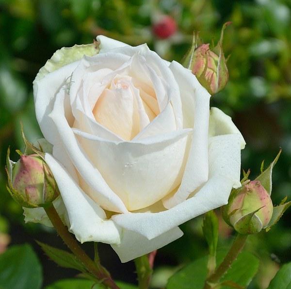 Madame Anisette сорт розы фото саженцы