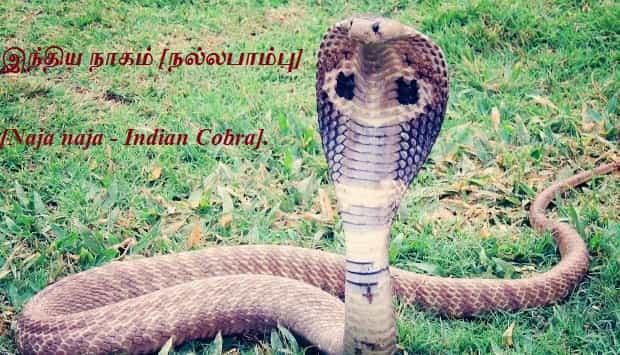 நாகப்பாம்பு - நல்ல பாம்பு - Cobra Snake - Indian Cobra - part 2.