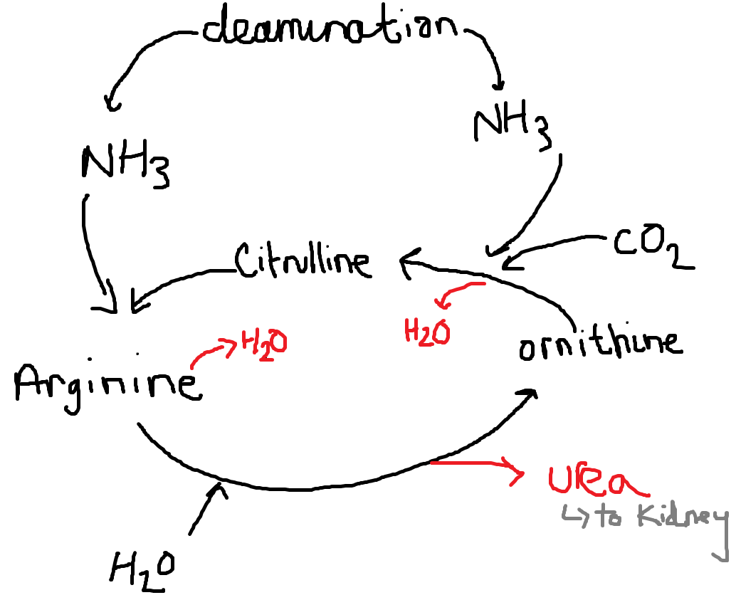 Together Revising My Revision Notes A2 Biology Urea Ornithine Cycle Detoxification Of Alcohol