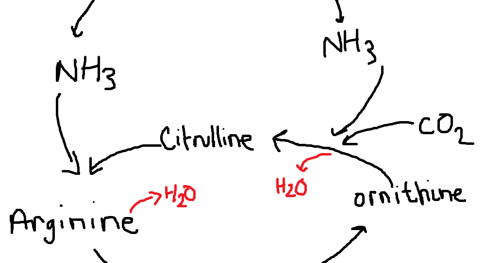 Together Revising: My revision notes: A2 Biology: Urea