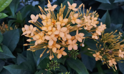Yellow colored Jungle geranium flower