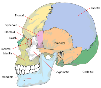 Struktur dan bagian bagian tulang cranium