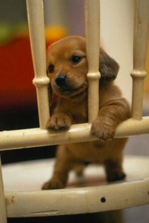 Daschund puppy!! I swear, puppies are the cutest (along with all babies) BUT dachshund puppies are the all time cutest