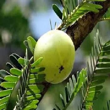 आवळा,Emblica fruits name in Marathi