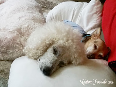 Carma Poodale #standardPoodle sleeping with Scooby #chihuahua