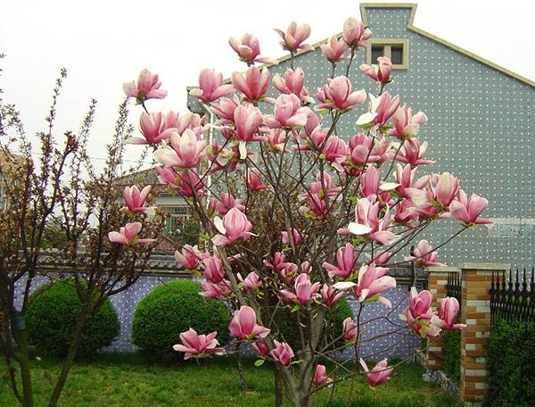 hoa moc lan