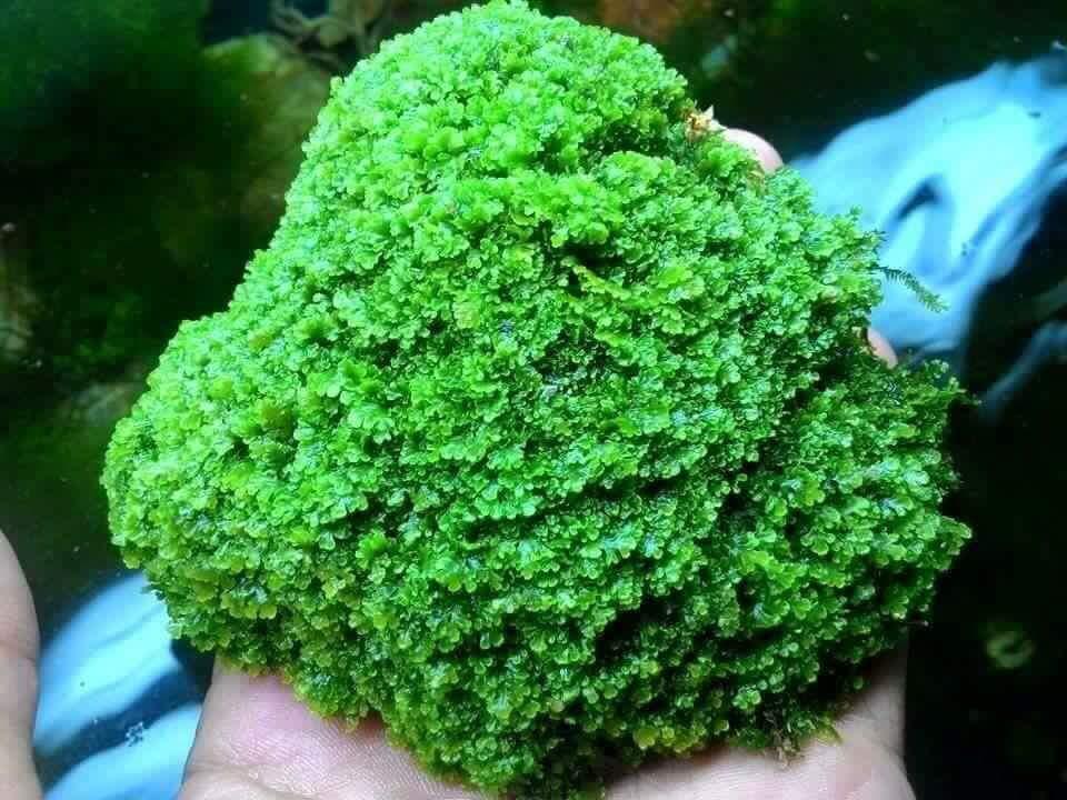 Rêu mini pelia tuyệt đẹp trong bể thủy sinh