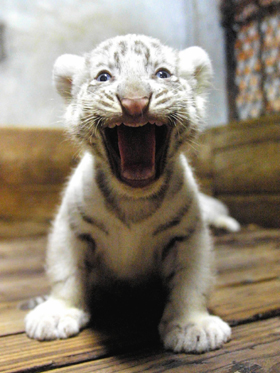funny car: cute baby white tigers - photo#37