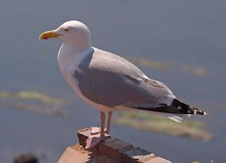 النورس الفضي   European Herring Gull