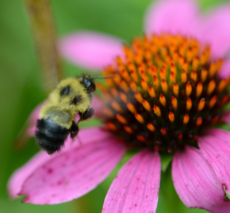A fuzzy yellow and black bumble bee, Bombus impatiens, hovers over a purple coneflower before lighting to sip nectar.