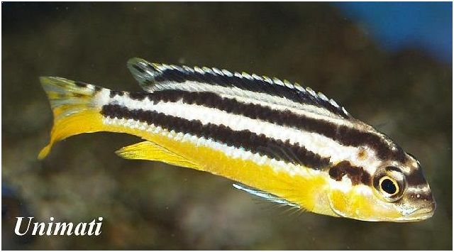 Gambar Ikan Hias Cantik – Ikan Niasa