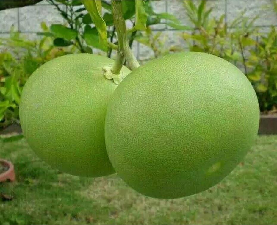 Bibit tanaman buah jeruk bali pamelo Banten