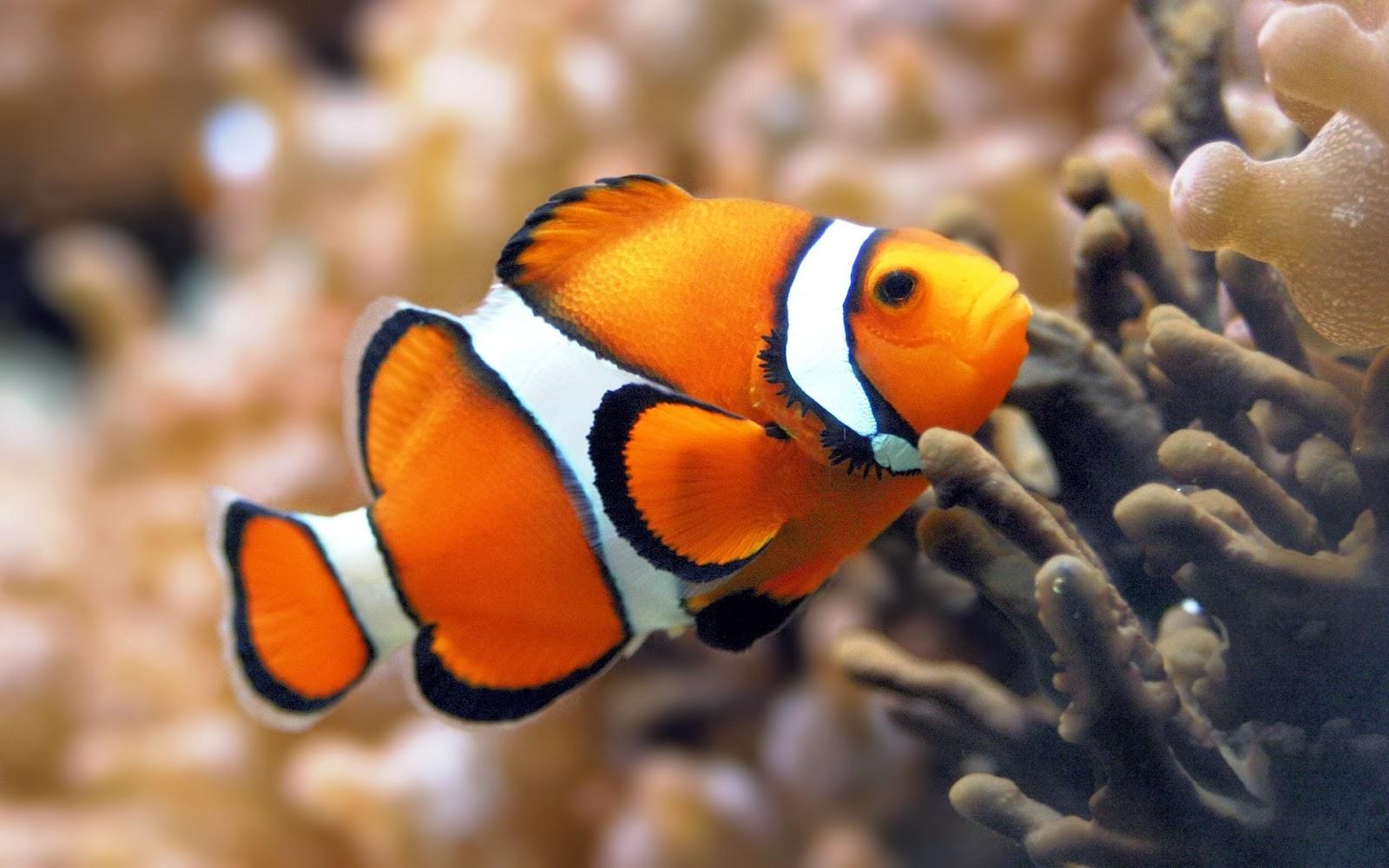 Graafix Colourful Fish Hd Wallpaper 2014