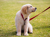 Puppy Collar and Leash Training – How to Begin