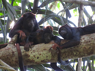 Alouatta discolor, Spix's Red-handed Howler
