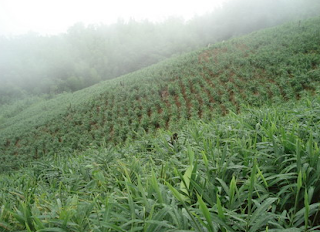 Ladang Halia