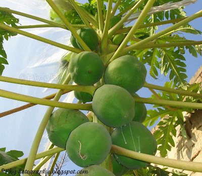 Papaya Plant Picture