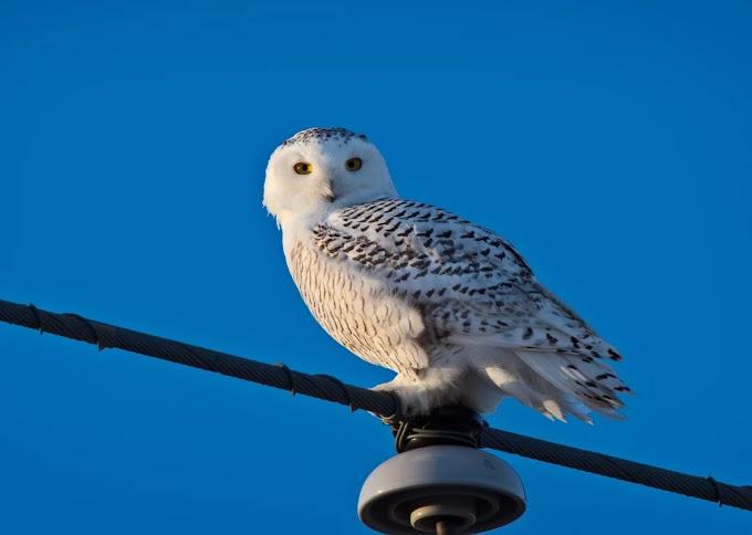 Habitat: Snowy owl  bird