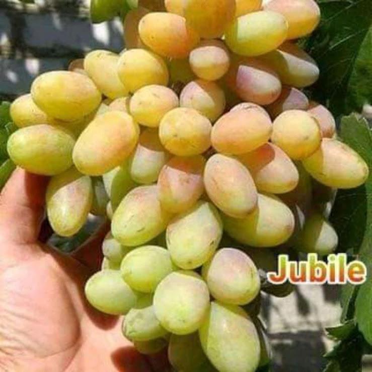 BIBIT ANGGUR JUBILE Prabumulih