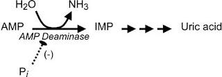 inhibition of AMP deaminase
