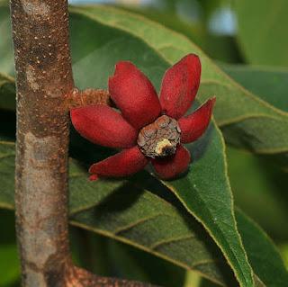 ต้นพีพวนน้อย ผลไม้ป่าของไทย ประโยชน์
